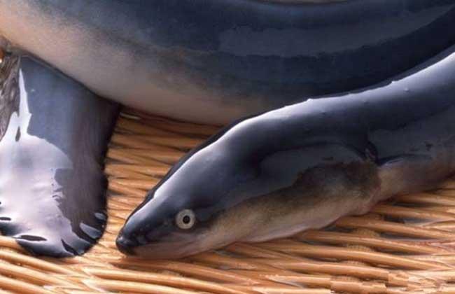 鳗鱼价格多少钱一斤?