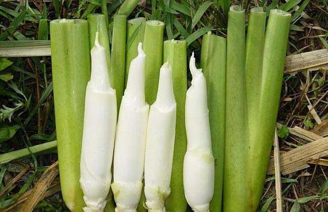 茭白种子价格及种植方法