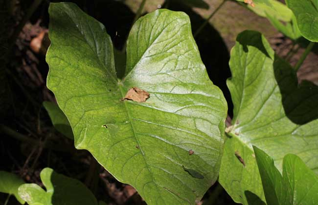 独角莲种子价格及种植方法