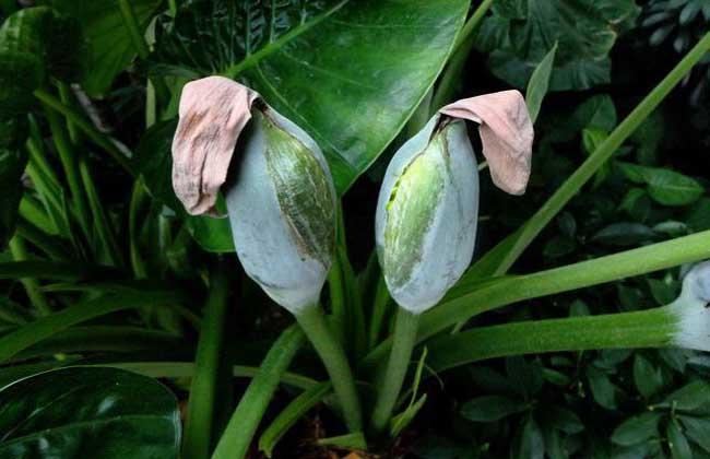 独角莲种子价格