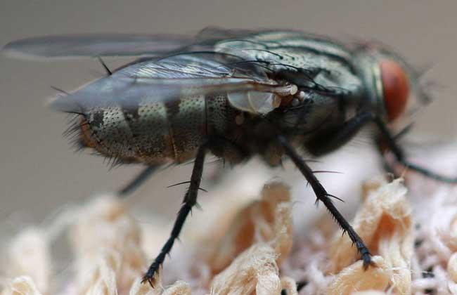 苍蝇是怎么形成的?