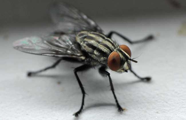 苍蝇是怎么形成的