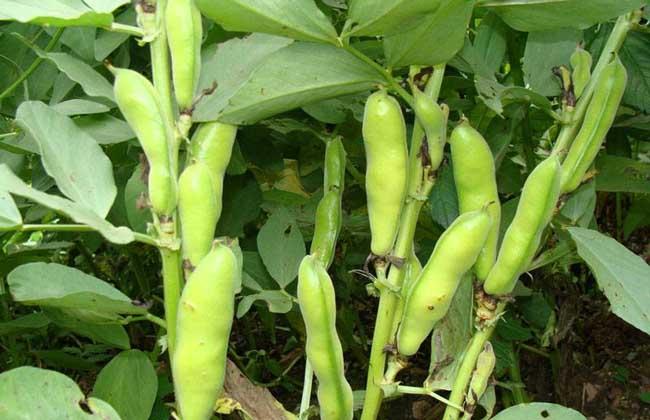 蚕豆种子价格