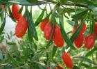 枸杞种子价格及种植方法