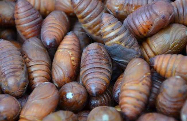 蝉蛹价格多少钱一斤?