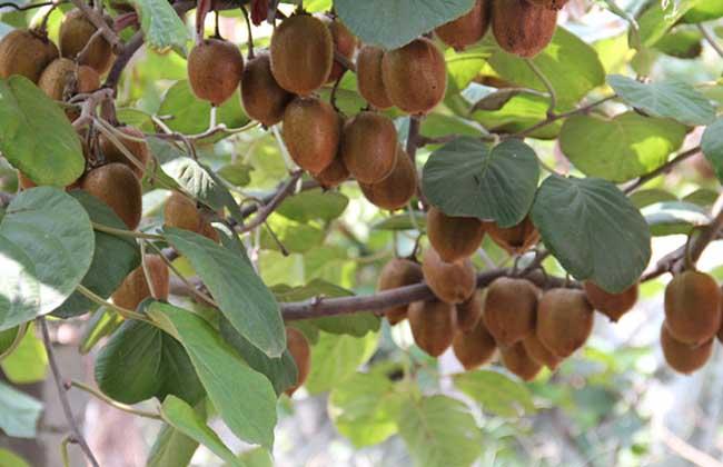 猕猴桃种子价格及种植方法