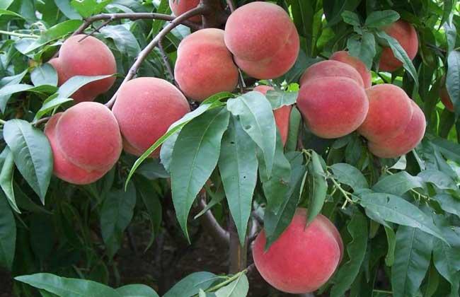 桃树苗价格及种植方法