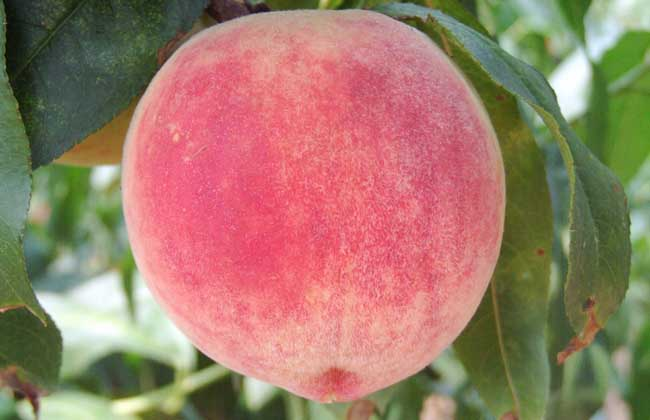 女性痛经可以吃桃子吗?