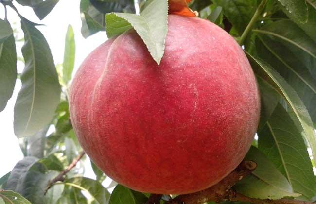吃桃子可以减肥吗?