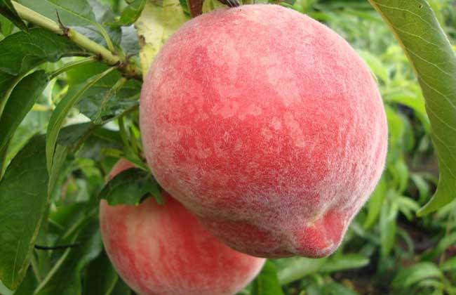 吃桃子真的会长胖吗?