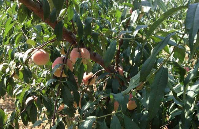 吃桃子会长胖吗