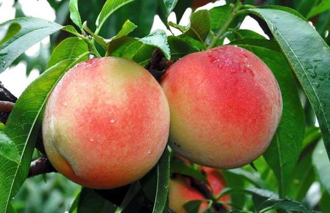女性经期可以吃桃子吗?
