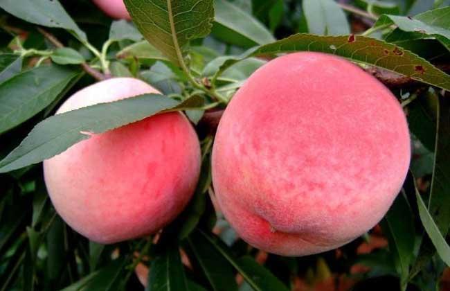拉肚子能吃桃子吗?