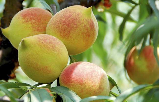 拉肚子能吃桃子吗