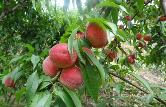 产妇可以吃桃子吗