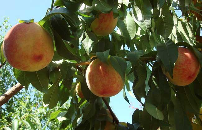 桃子可以放冰箱吗