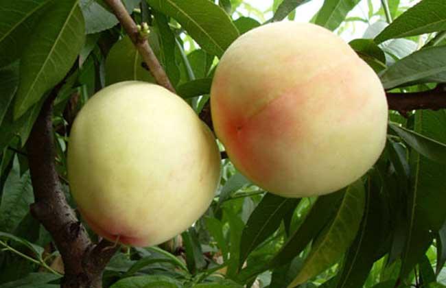 桃子是凉性还是热性?