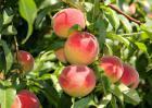 桃子可以放冰箱保存吗?