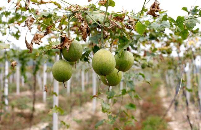 瓜蒌种子价格及种植方法