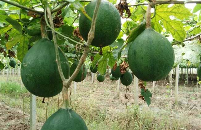 瓜蒌种子价格