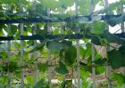 葫芦种子价格及种植方法