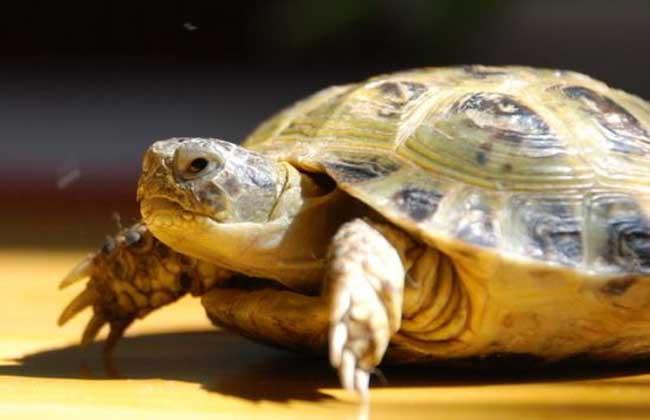宠物乌龟价格