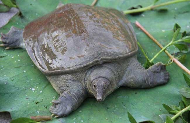 鳖俗称甲鱼,团鱼,王八等,为龟鳖目鳖科爬行类两栖动物的统称,习性