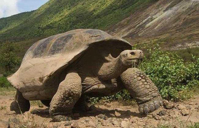 加拉帕戈斯象龟