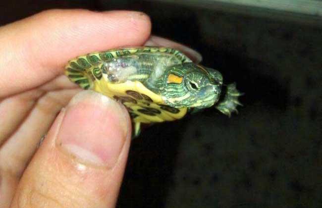 养什么乌龟招财
