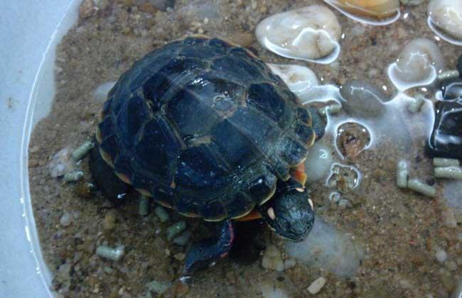 乌龟什么时候下蛋