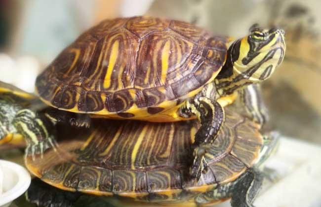 乌龟有灵性吗