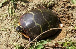 乌龟蛋真的能吃吗?