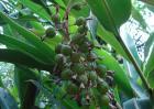 砂仁种子价格及种植方法