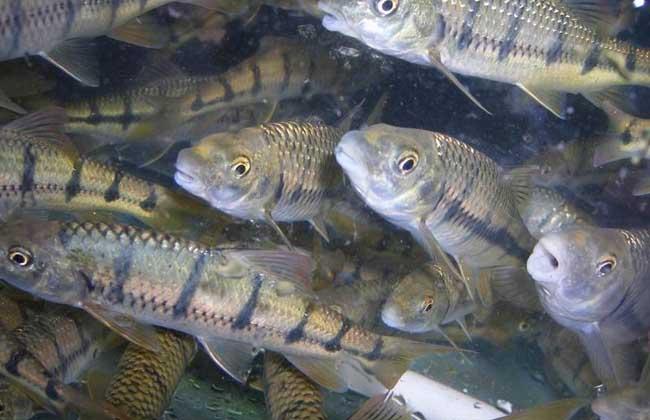 淡水石斑鱼苗