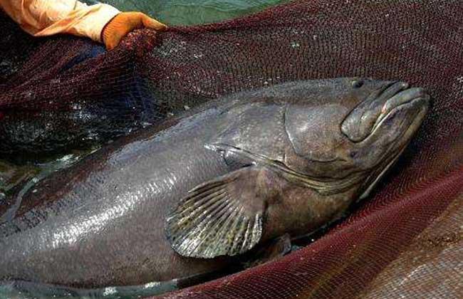龙胆石斑鱼