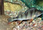 淡水鲈鱼高产养殖技术