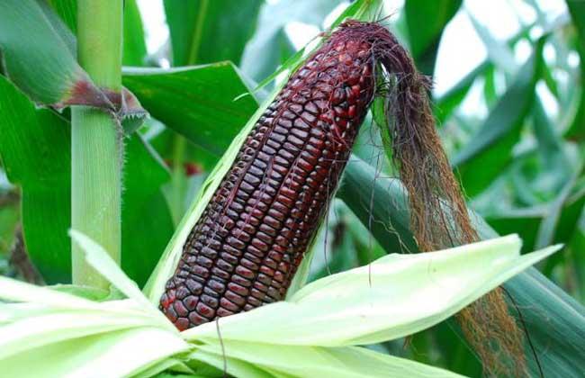 黑玉米种子价格及种植方法