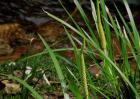 石菖蒲种苗价格及种植方法