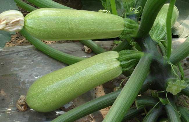 西葫芦种子价格及种植方法