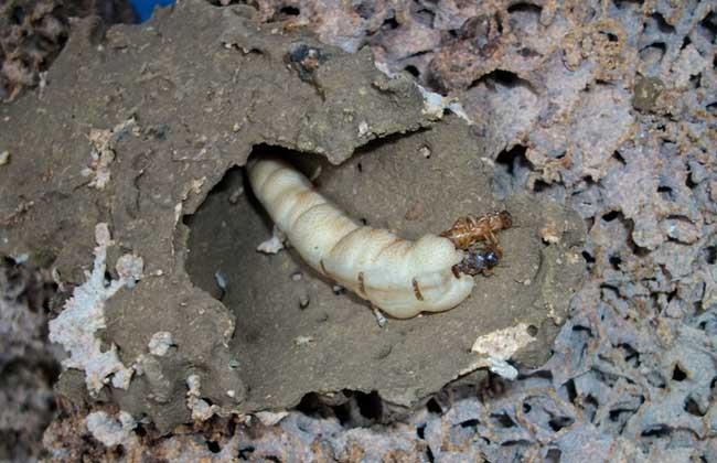 家里发现白蚁怎么办?