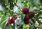 杨梅种子价格及种植方法