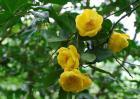 金花茶树苗价格及种植方法