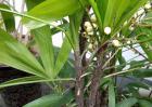 棕竹种子价格及种植方法