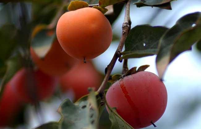 柿子什么时候成熟