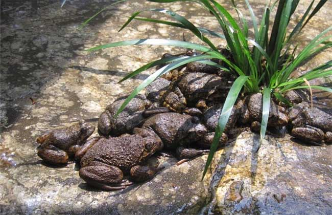 野生石蛙多少钱一斤?