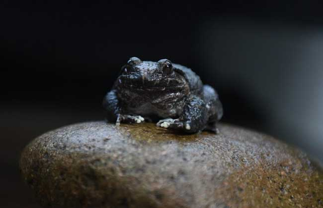 野生石蛙养殖技术