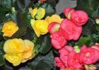 四季海棠种子价格及种植方法