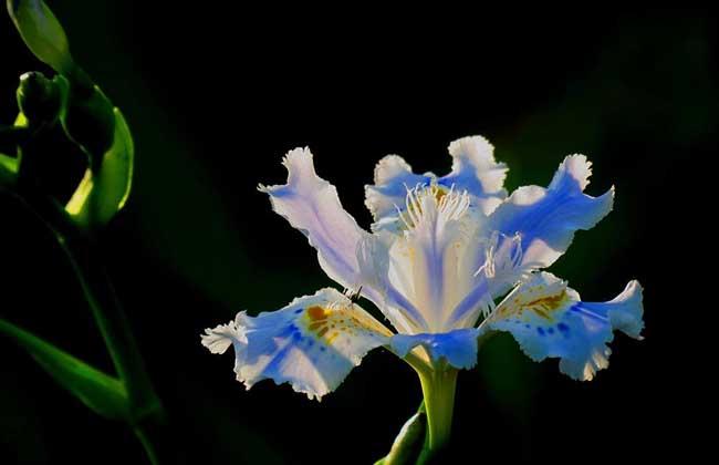 鸢尾花种子价格及种植方法