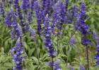 薰衣草种子价格及种植方法