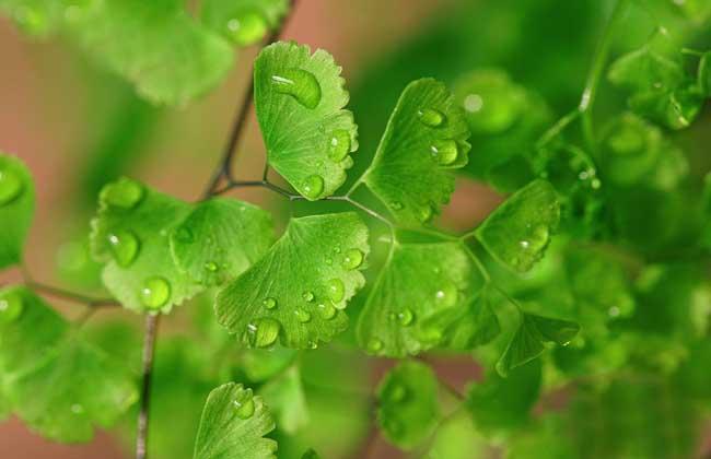 铁线蕨叶子枯萎怎么办?